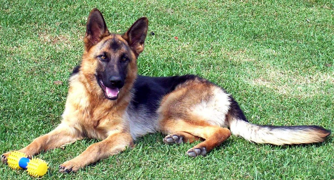 German Shepherd Dog Images