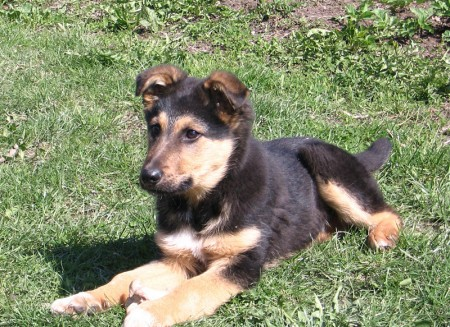 German Shepherd Dogs And Puppies