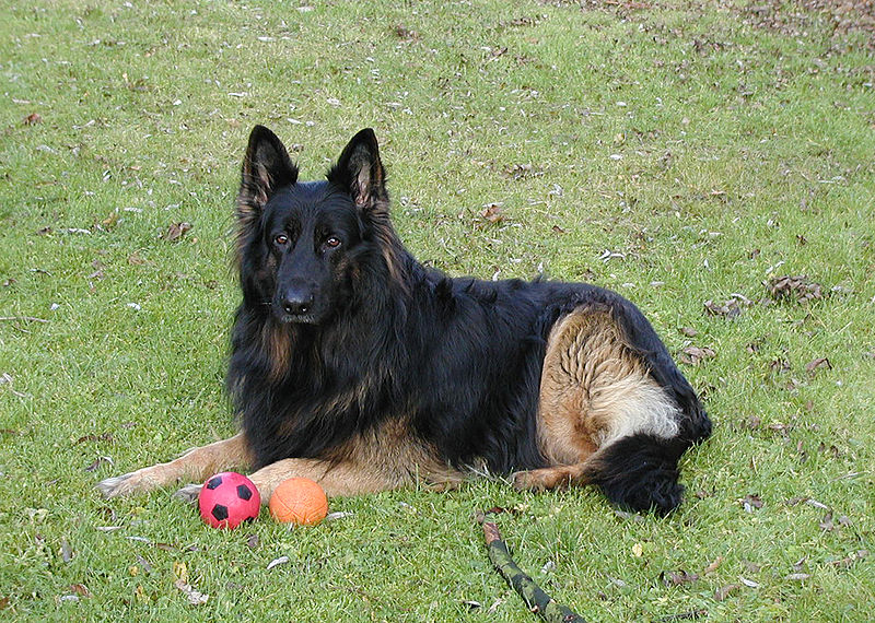 German Shepherd Dogs Pics