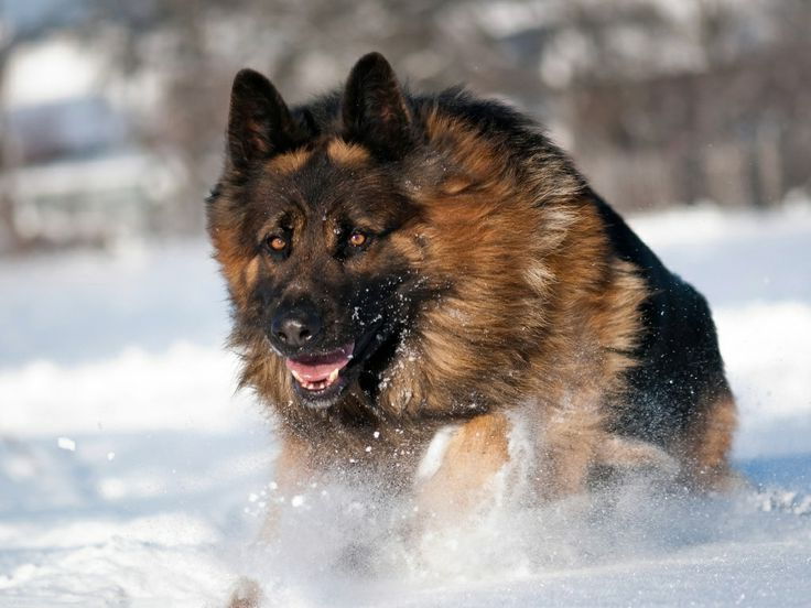 German Shepherd Dogs Running