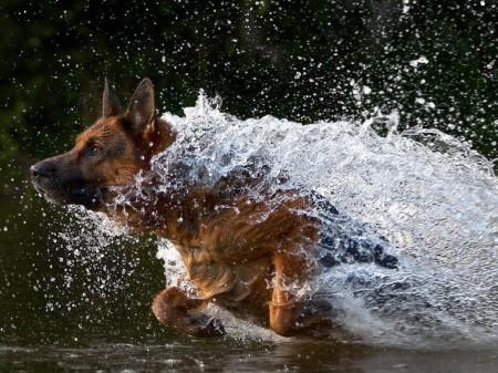 German Shepherd Dogs Swimming