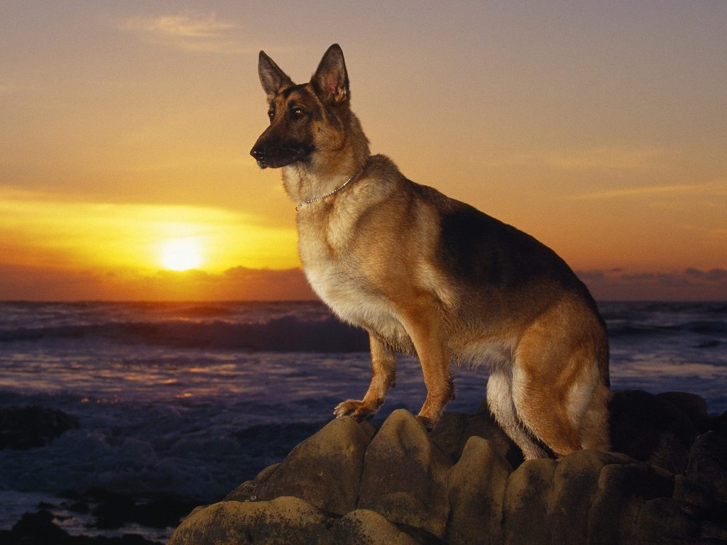 German Shepherd Dogs Wallpapers