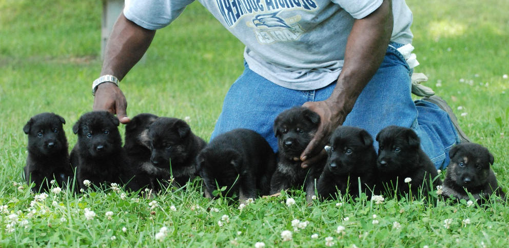 German Shepherd Puppies Ct