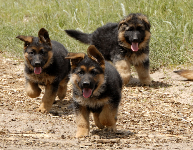 German Shepherd Puppies Images
