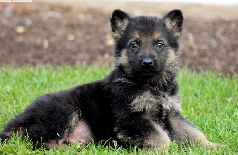 German Shepherd Puppies Pictures