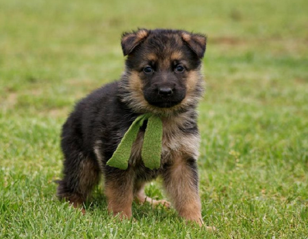 German Shepherd Puppies Wallpaper