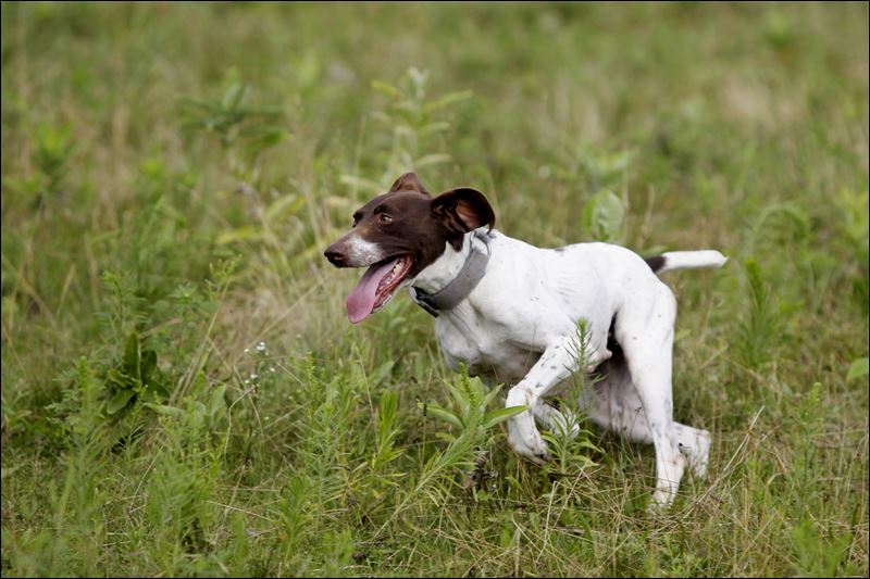 German Shorthaired Pointer Puppies Adoption