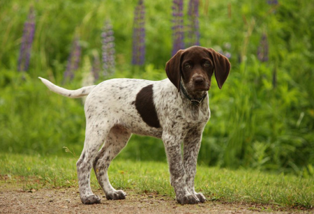 German Shorthaired Pointer Puppies Arizona