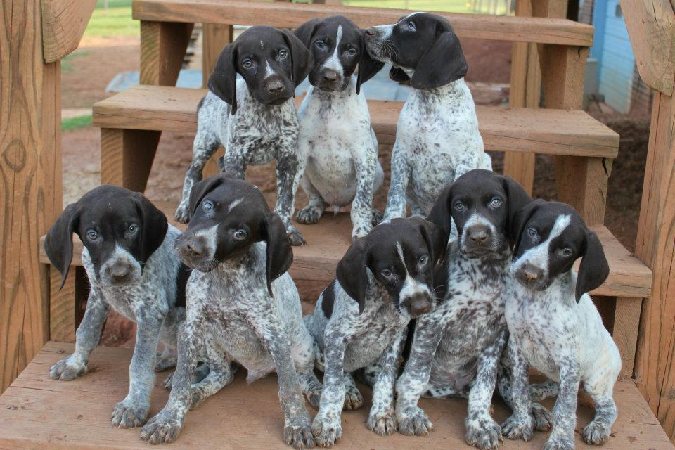 German Shorthaired Pointer Puppies Asheville Nc