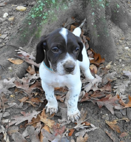 German Shorthaired Pointer Puppies Atlanta