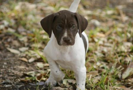 German Shorthaired Pointer Puppies Austin