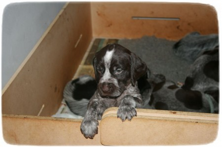 German Wirehaired Pointer Puppies Michigan