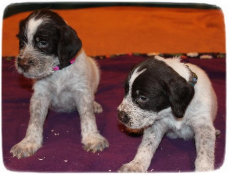 German Wirehaired Pointer Puppies Nc