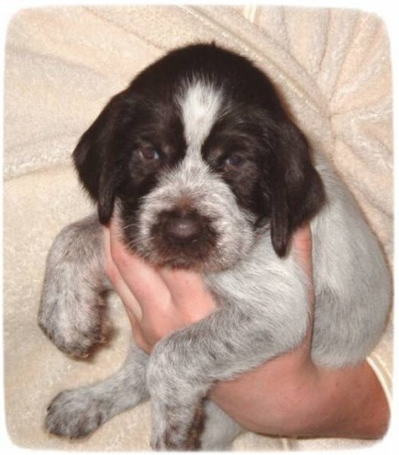 German Wirehaired Pointer Puppies Oregon