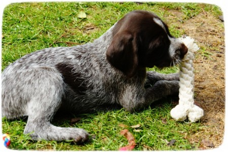 German Wirehaired Pointer Puppies Texas
