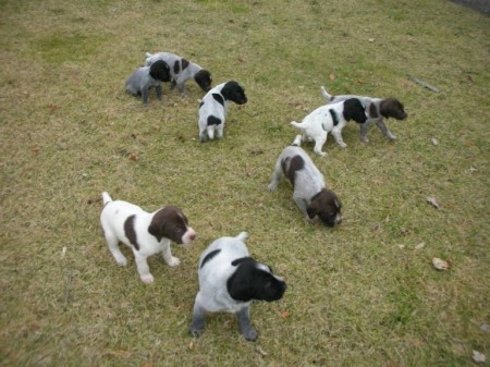 German Wirehaired Pointer Puppies Utah