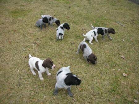 German Wirehaired Pointer Puppies Utah