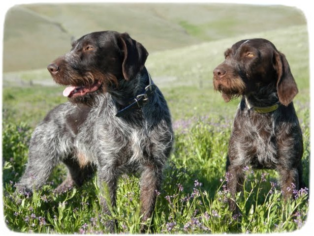 German Wirehaired Pointer Puppies Wisconsin