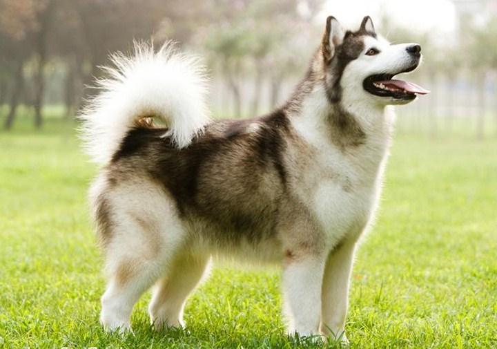 Giant Dog Breeds List