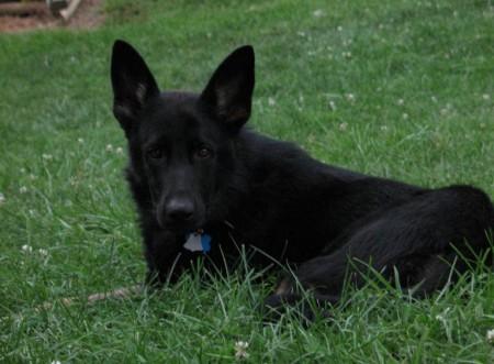 Giant Shepherd Dog Breeds