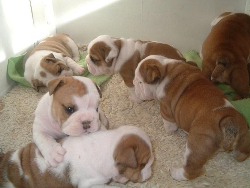 Good Dog Food For English Bulldogs
