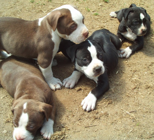 Good Dog Food For Pitbulls