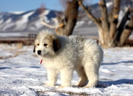 Great Pyrenees Puppies Idaho