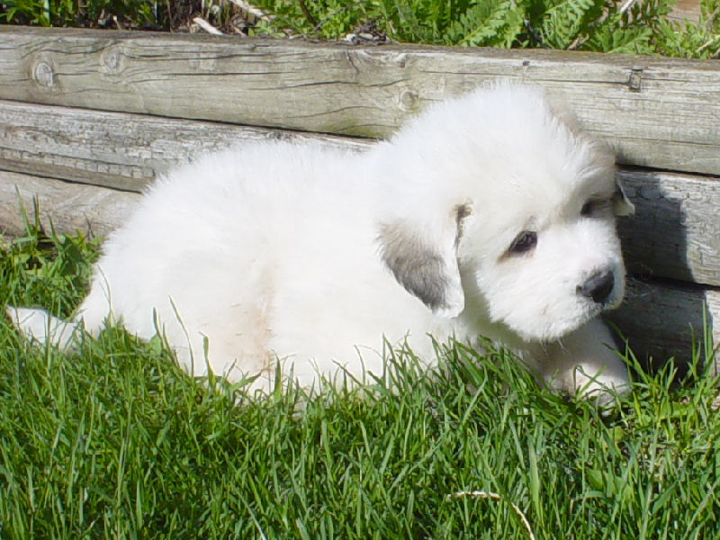 Great Pyrenees Puppies Images