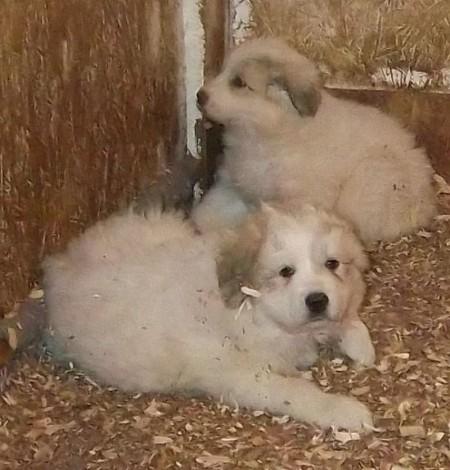 Great Pyrenees Puppies Newborn