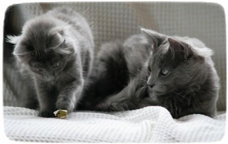 Grey Devon Rex Cat