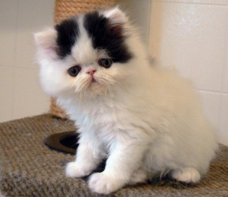 Grumpy Cat Breed Type