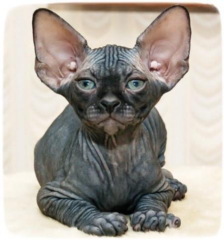 Hairless Cat Breeds Bambino
