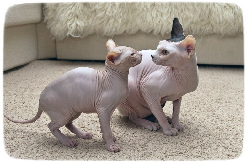 Hairless Cat Breeds For Adoption