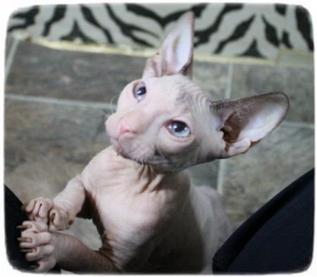 Hairless Cat Breeds List