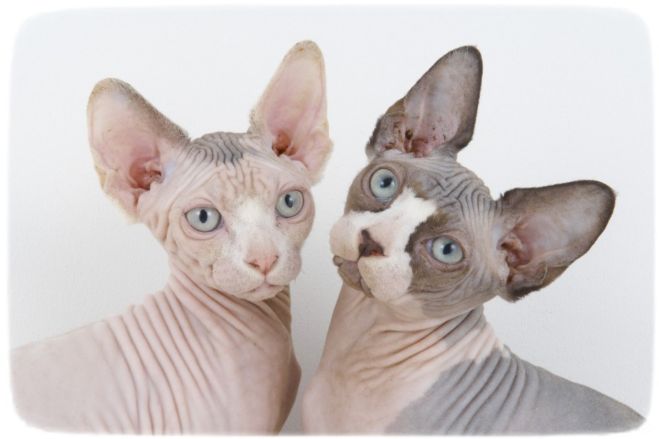 Hairless cat breeds rex