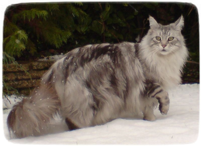 House Cat Breeds With Pictures