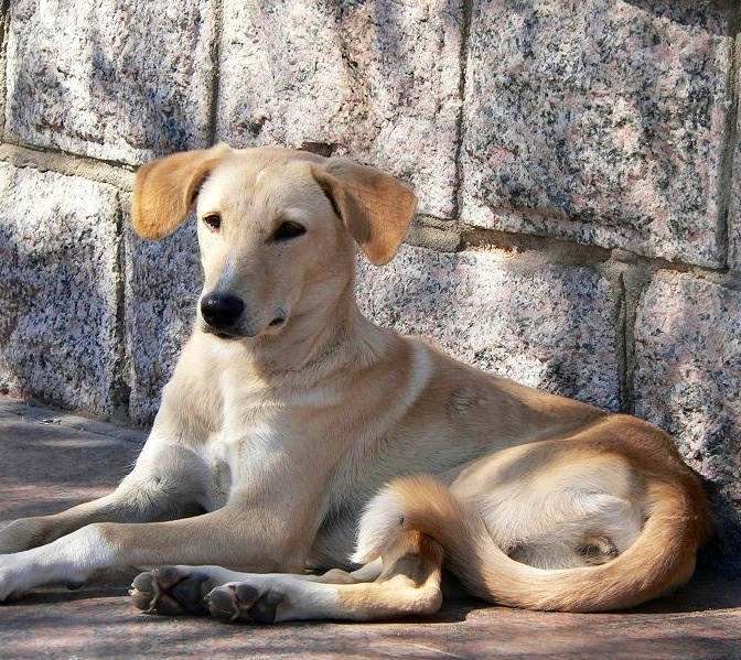 Huge Dog Breeds In India