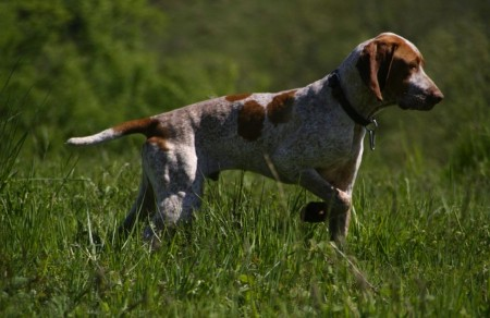Hunting Dog Breeds With Pictures