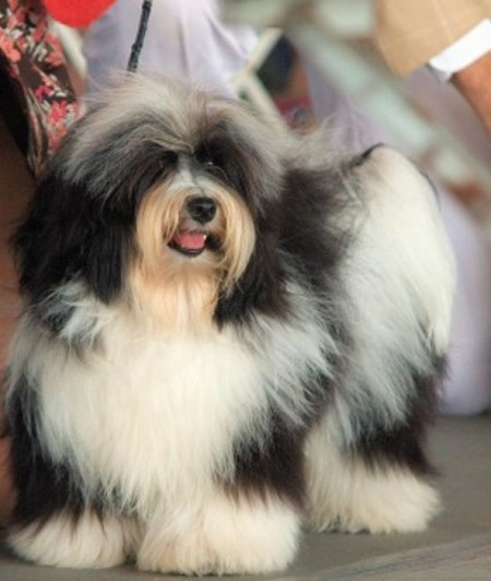 Hypoallergenic Dog Breeds Pictures