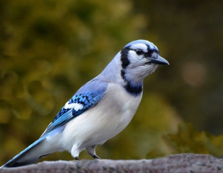 Images Of Blue Jays Birds