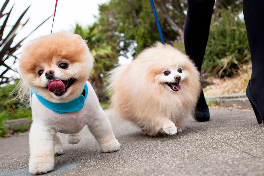 Images Of Boo The World's Cutest Dog