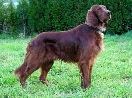 Indian Hound Dog Breeds