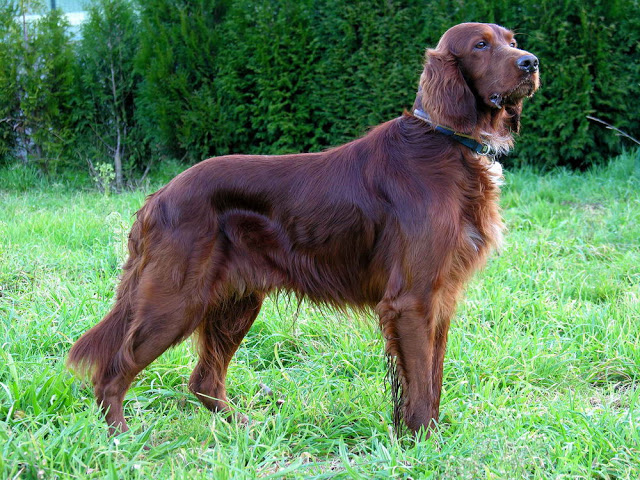 Indian Hound Dog Breeds