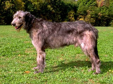 Irish Wolfhound Puppies California