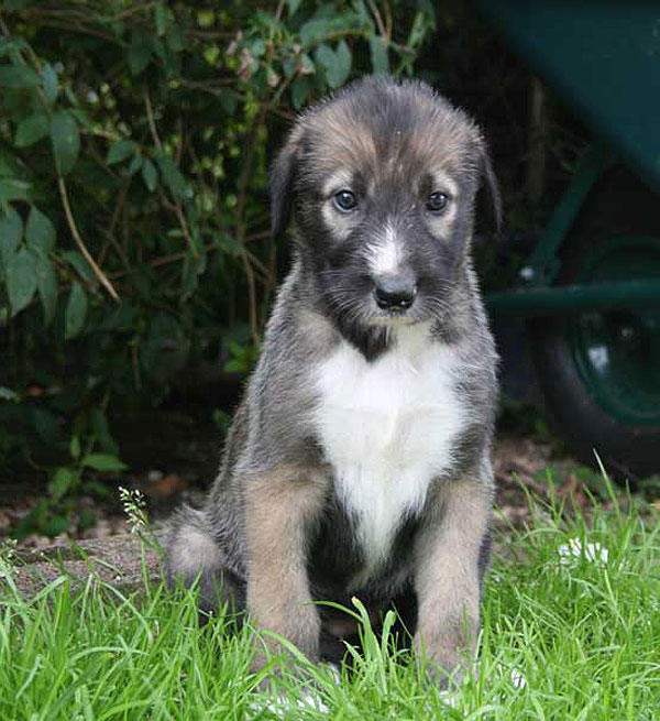 Irish Wolfhound Puppies Georgia