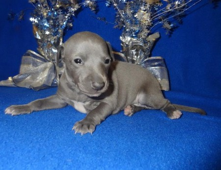 Italian Greyhound Puppies Blue