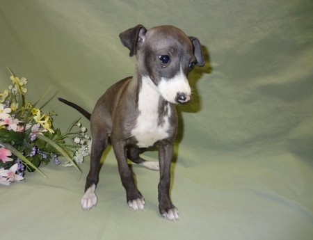 Italian Greyhound Puppies Images