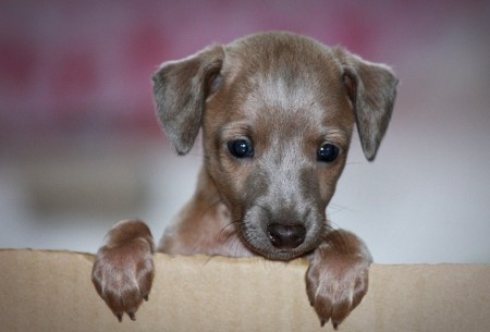 Italian Greyhound Puppies Ohio