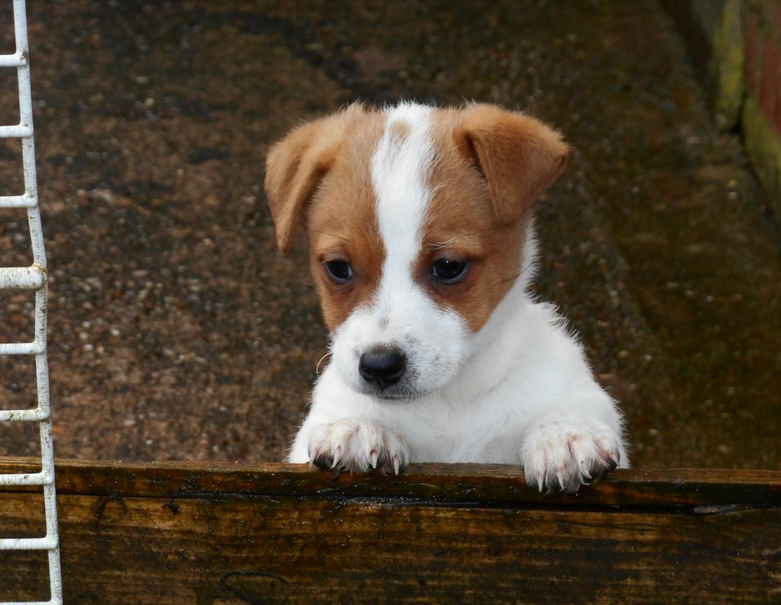 Jack Russell Terrier Puppies Colorado