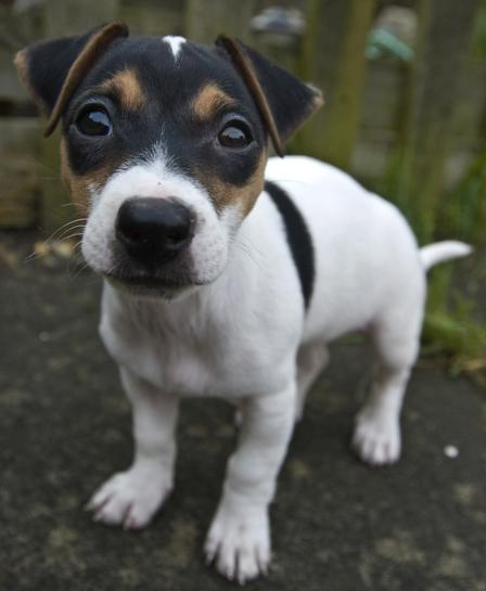 Jack Russell Terrier Puppies Mn